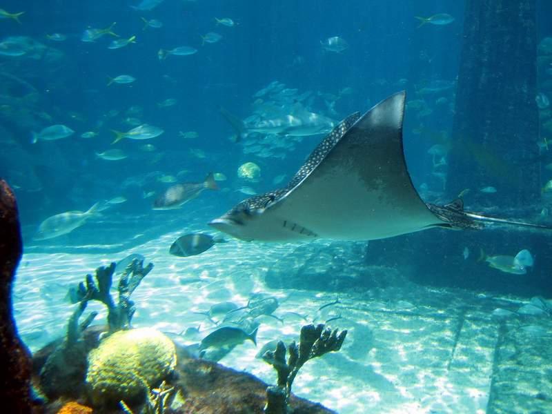 Paradise Island Atlantis Aquarium Giant Ray Vacation Photos. Click For Next Paradise Island Atlantis Aquarium Photo